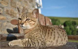 Самые необычные дикие кошки в мире: топ 10