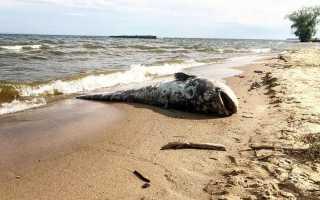 В Ульяновске на берегу реки нашли гигантского сома