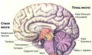 Функции среднего мозга: Строение человеческого мозга
